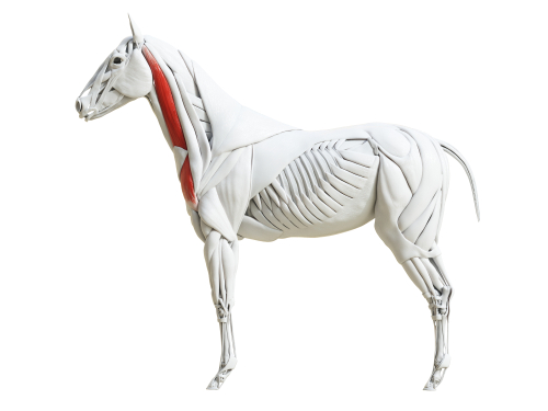 brachiocephalicus paard