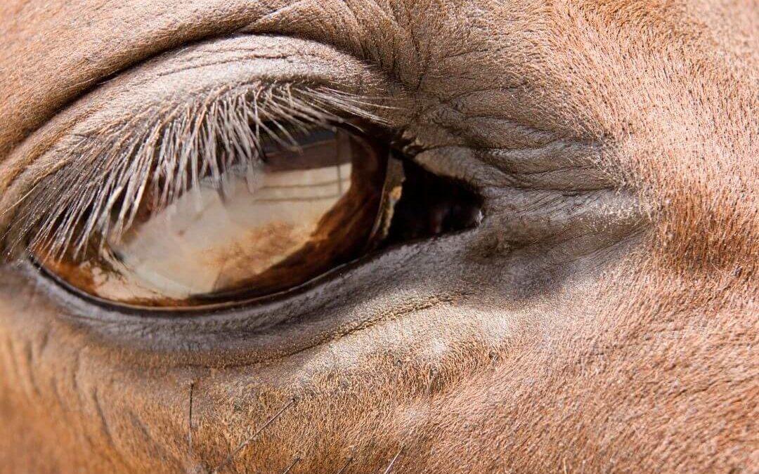 Hoofdpijn bij paarden