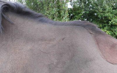 Ontwikkeling van de halsspieren van je paard