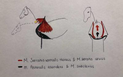 Schouder- en borstspieren bij het paard