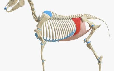 Training van de buikspieren van je paard