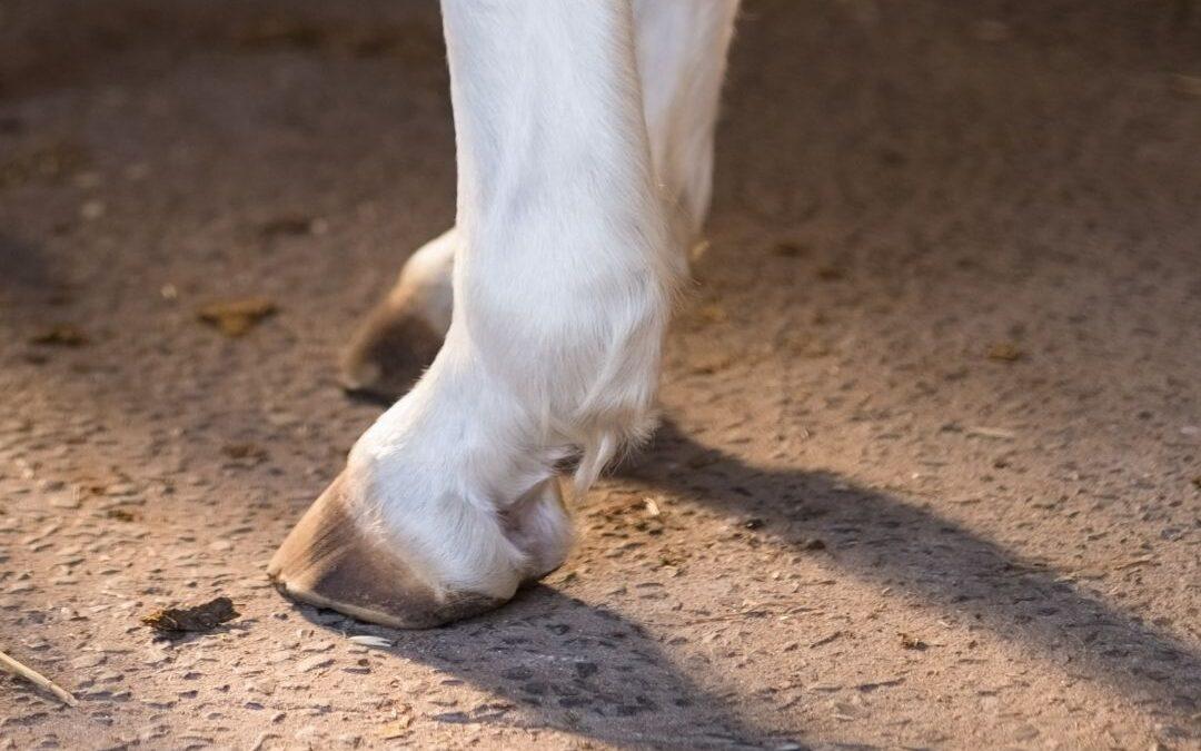 kreupel paard achterbeen blog